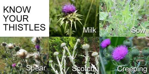 know_your_thistles